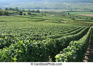 French Vineyard - Vineyard in champagne region of france