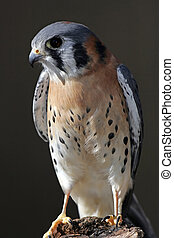American Kestrel Perched - American Kestrel perched on a log...