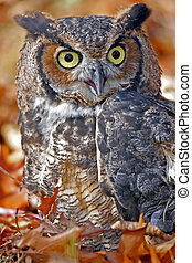 Great Horned Owl in Colorful Fall Leaves - Great Horned Owl...