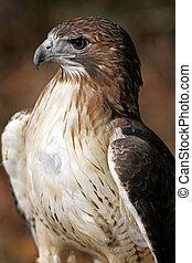 vermelho, tailed, falcão, closeup