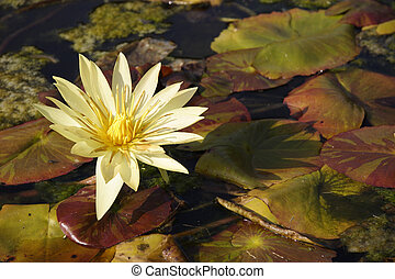 Fall Flowers - Fall flowers in a lily pond with decaying...