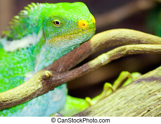 iguana lazing on a tree branch with head and eyes in focus