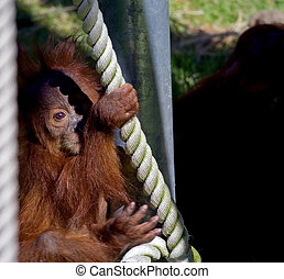 baby orangutan - mother to the babys right