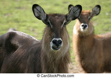 Antelopes - Two antelopes in a zoo