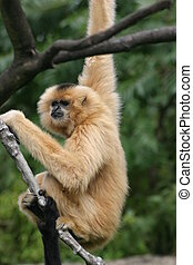 Gibbon - Brightly gibbon