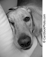 Sleepy dog - Sleepy labrador retriever in a sofa