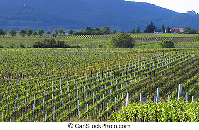 Wineyards in summer - Summer wineyards on the south of...