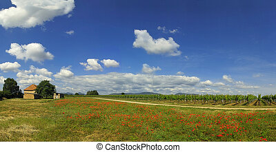 Field with poppies - wineyard field with red poppies