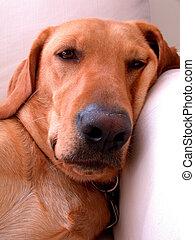 Taking a nap - A labrador retriever taking a nap
