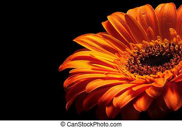 Orange fire - glowing orange flower