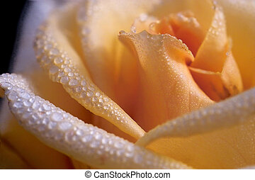 Waterdrops on the rose - extreme close-up of a beautiful...