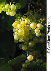 Glowing wine grapes - glowing light wine grapes