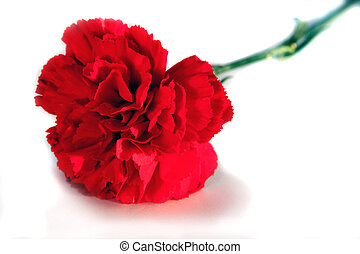 Valentines carnation - A red carnation for Valentines day