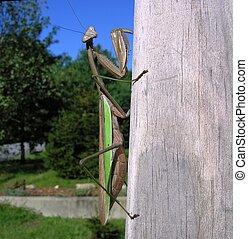 Praying Mantis - camouflage, cannibal, dweller, green,...