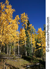 Golden Aspen - Golden leafed aspen trees against a bright...