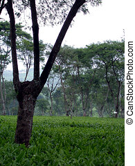 Plantation - Tea plantation in Asia