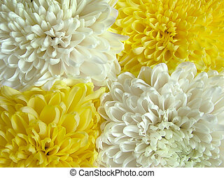 Chrysanthemum 1 - four flowers and two colors