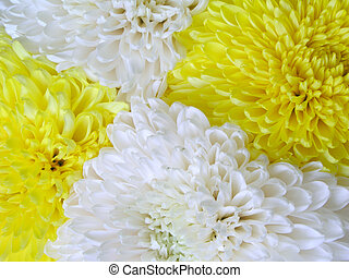 Chrysanthemum 4 - four flowers and two colors (diagonal...