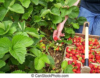 picking strawberries - young man picking strawberries