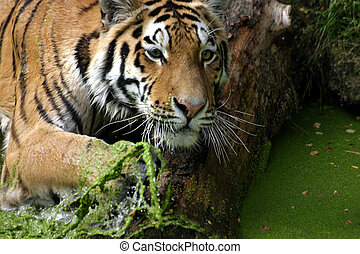 Bathing tiger - Siberian tiger in green water
