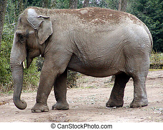 Indian Elephant - The Indian elephant