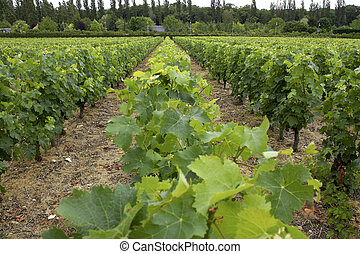 Vines growing in vineyard, loire valley, france