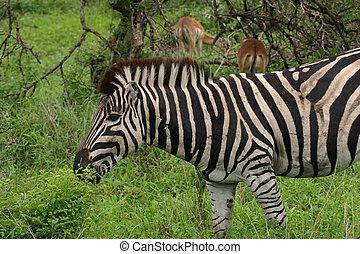 Zebra grazing after good rain