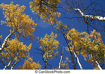 Aspens with Flare - Sun flare strategically placed among...