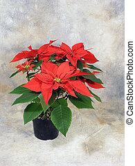 Potted Poinsettias - Potted Poinsettia still life