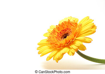 yellow orange gerbera - yellow orange gerber with stem,...