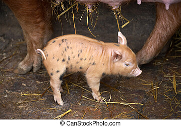 Piglet with mother, piglet is cross breed tamworth mother...
