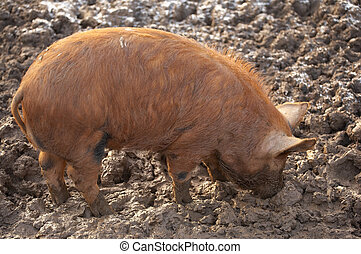 Tamworth pig foraging for food in a frost muddy field