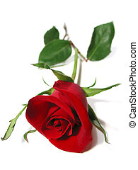 Red rose white background - Beautiful single red rose...