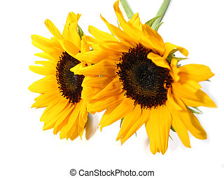 Sunflower white background - Two sunflowers isolated on...