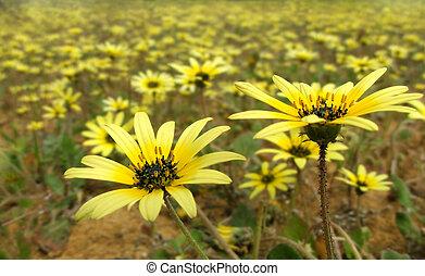 Flowers - Arctotheca calendula - Arctotheca calendula...