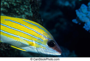 Blue stripped Snapper fish