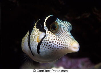 Black-Saddled Toby Puffer Fish