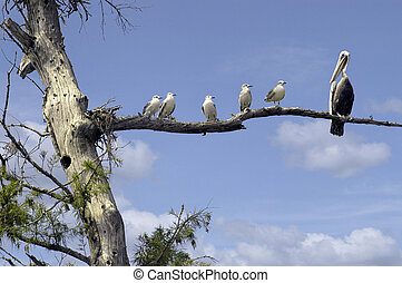 Gang on a limb! - Seagulls all looking at a Pelican who has...