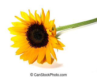 Sunflower white background - Single sunflower isolated on...