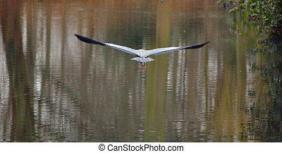 Heron in full glide - Heron in flight over the wetlands.
