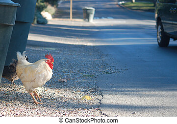 Chicken about to cross the road - A chicken taking the first...