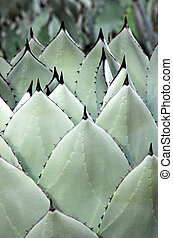 Agave Spears - Rows of fresh agave leaves