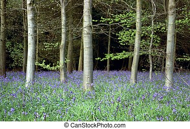 Bluebell Wood - Woodland scene with bluebells and silver...