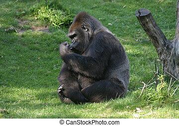 Gorilla - A gorilla in a zoo