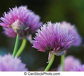 szczypiorek, Kwiaty