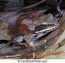 Toad (Frog) hiding under leaves very camouflage