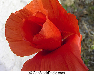 Scarlet Poppy - close up of a poppy, Papaver Rhoeas, natural...