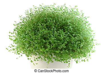 Babys Tears pot plant on white background Soleirolia...