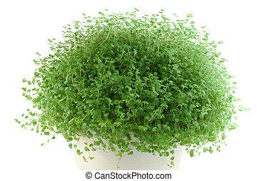 Baby\'s Tears pot plant on white background (Soleirolia...