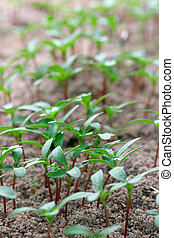 Seedlings - Close-up of seedlings, shallow DOF